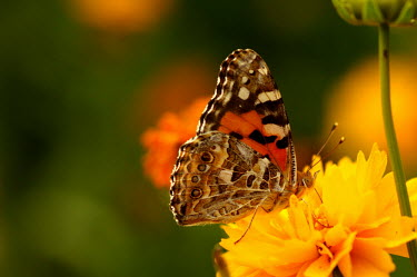 Australian painted lady - Australia wildflower meadow,Meadow,food,feed,hungry,eat,hunger,Feeding,eating,environment,ecosystem,Habitat,Macro,macrophotography,Grassland,floral,Flower,Close up,Terrestrial,ground,Filter feeding,Filter feede