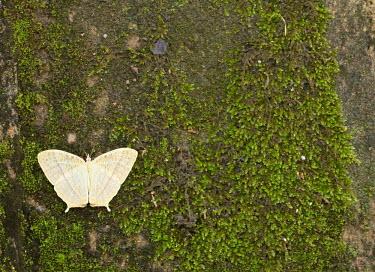 Butterfly - Vietnam Close up,Macro,macrophotography,Animalia,Arthropoda,Insecta,Lepidoptera,butterfly,butterflies,insect,insects,invertebrate,invertebrates,tree,forest,woodland,jungle,moss