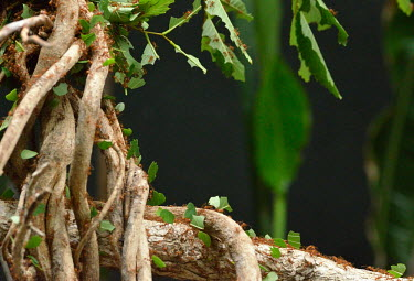 Leaf-cutter ants marching - Vietnam Close up,Macro,macrophotography,Jungle,action,movement,move,Moving,in action,in motion,motion,climber,climb,Climbing,tropical,Tropical rainforest,tropics,tropic,jungles,jungle,Leaf,leafs,leaves,forest