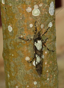 A beetle camouflaged against a lichen covered tree - Vietnam Macro,macrophotography,Close up,insect,insects,invertebrate,invertebrates,camouflage,camouflaged,beetle,beetes,tree,forest,disguise,lichen