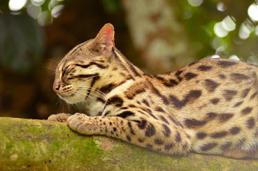 A leopard cat resting in a tree - Vietnam resting,rested,rest,coloration,Colouration,spotty,spot,Spots,spotted,hidden,crypsis,Camouflage,camo,disguise,disguised,camouflaged,patterns,patterned,Pattern,Carnivorous,Carnivore,carnivores,Arboreal,