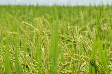 Rice crop - Vietnam coloration,Colouration,Arable,agricultural,arable land,Agriculture,Stage,Leaf sprouting,leafs,leaves,Human impact,human influence,anthropogenic,environment,ecosystem,Habitat,Farmland,farms,farming,far