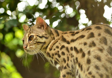 A leopard cat in a tree - Vietnam hidden,crypsis,Camouflage,camo,disguise,disguised,camouflaged,Carnivorous,Carnivore,carnivores,coloration,Colouration,patterns,patterned,Pattern,spotty,spot,Spots,spotted,resting,rested,rest,Arboreal,