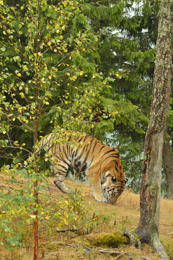 Siberian tiger in Orsa Rovdjurspark wildlife park - Sweden coloration,Colouration,Traditional medicine,Chinese medicine,traditional Chinese medicine,black market pet,Pet trade,pet trading,illegal pet trade,black market,illegal pet trading,Trafficking,wildlife
