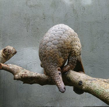 Sunda pangolin at a rescue centre - Vietnam pangolin,pangolins,sanctuary,rescue,rescued,Sunda pangolin,Manis javanica,Captive,Pangolins,Pholidota,Mammalia,Mammals,Chordates,Chordata,Manidae,Malayan pangolin,Pangolin Malais,Pangol�n Malayo,Pango