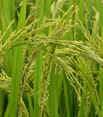 Rice grain - Vietnam Stage,Leaf,leafs,leaves,coloration,Colouration,Leaf sprouting,Close up,colours,color,colors,Colour,Human impact,human influence,anthropogenic,farmed land,farm land,farmland,Farming,industry,farm,Green