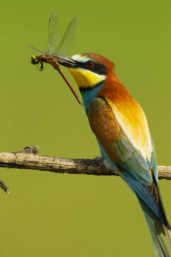 European bee-eater eating a dragonfly - Africa Multi-coloured,multicoloured,multi-colored,colorful,multicolored,colourful,coloration,Colouration,colours,color,colors,Colour,food,feed,hungry,eat,hunger,Feeding,eating,Perching,perched,perch,bright c