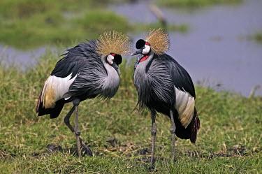 A pair of grey crowned-crane - Kenya Terrestrial,ground,Grassland,Head,cranium,Crown,environment,ecosystem,Habitat,crane,bird,birds,Grey crowned-crane,Balearica regulorum,Chordates,Chordata,Gruidae,Aves,Birds,Gruiformes,Rails and Cranes,