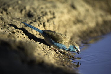 Blue-breasted Cordon-bleu at a water hole - Africa colours,color,colors,Colour,azul,Blue,drink,thirst,drinks,Drinking,thirsty,arid,drought,waterless,no water,dried up,barren,baked,Dry,parched,moistureless,coloration,Colouration,Blue-breasted Cordon-bl