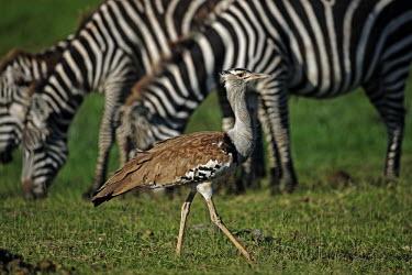 Kori bustard amongst a herd of zebra- Africa bustard,bird,birds,Kori bustard,Ardeotis kori,Otididae,Gruiformes,Rails and Cranes,Chordates,Chordata,Aves,Birds,Outarde kori,Terrestrial,Ardeotis,Animalia,kori,Omnivorous,Least Concern,Africa,Savanna