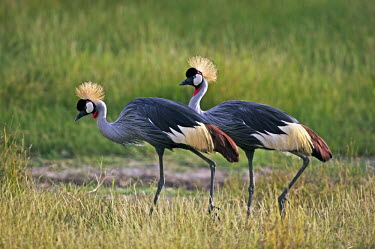 A pair of grey crowned-crane - Kenya Terrestrial,ground,Crown,Grassland,environment,ecosystem,Habitat,Head,cranium,crane,bird,birds,Grey crowned-crane,Balearica regulorum,Chordates,Chordata,Gruidae,Aves,Birds,Gruiformes,Rails and Cranes,
