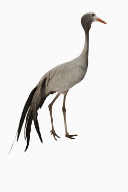 Blue crane White background,nothing,plain background,nothing in background,Plain,blank background,blank,Plumage,plumes,plume,Portrait,face picture,face shot,feathers,Feather,crane,bird,birds,Blue crane,Anthropoi