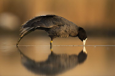 Coot- Africa Reflection,drink,thirst,drinks,Drinking,thirsty,blur,selective focus,blurry,depth of field,Shallow focus,blurred,soft focus,bird,birds,Coot,Fulica atra,Aves,Birds,Rallidae,Coots, Rails, Waterhens,Chor