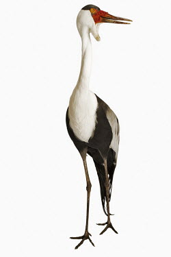 Wattled crane Close up,White background,nothing,plain background,nothing in background,Plain,blank background,blank,Portrait,face picture,face shot,crane,bird,birds,Wattled crane,Bugeranus carunculatus,Aves,Birds,C