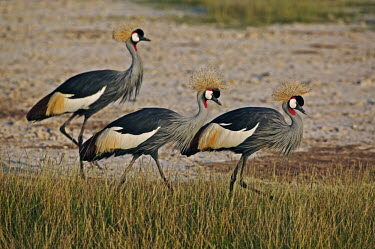 Grey crowned-crane - Kenya Head,cranium,Grassland,environment,ecosystem,Habitat,Terrestrial,ground,Crown,crane,bird,birds,Grey crowned-crane,Balearica regulorum,Chordates,Chordata,Gruidae,Aves,Birds,Gruiformes,Rails and Cranes,