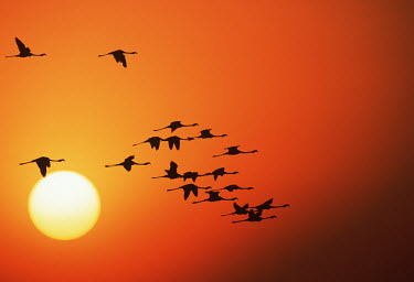 Greater flamingos silhouetted against the sunset - South Africa Aquatic,water,water body,Lake,lakes,environment,ecosystem,Habitat,sunrises,Sunrise,Morning,Dawn,Daybreak,sun rise,Sunrise sky,nightfall,dusk,Evening,sunsets,sun set,Sunset,Colonisation,Colony,Colonial