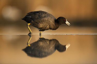 Coot- Africa Reflection,blur,selective focus,blurry,depth of field,Shallow focus,blurred,soft focus,bird,birds,Coot,Fulica atra,Aves,Birds,Rallidae,Coots, Rails, Waterhens,Chordates,Chordata,Gruiformes,Rails and C