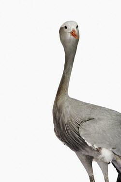 Blue crane nothing,plain background,nothing in background,Plain,blank background,blank,feathers,Feather,Plumage,plumes,plume,Portrait,face picture,face shot,White background,crane,bird,birds,Blue crane,Anthropoi