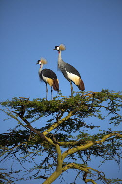 Grey crowned-crane nesting in an acacia tree - Kenya crane,bird,birds,Grey crowned-crane,Balearica regulorum,Chordates,Chordata,Gruidae,Aves,Birds,Gruiformes,Rails and Cranes,southern crowned crane,East African crowned crane,South African crowned crane,