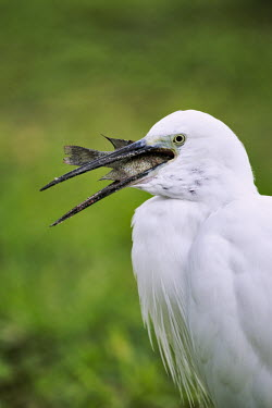 Little egret swallowing a fish - Mozambique, Africa egret,bird,birds,Little egret,Egretta garzetta,Ciconiiformes,Herons Ibises Storks and Vultures,Chordates,Chordata,Herons, Bitterns,Ardeidae,Aves,Birds,Aigrette garzette,Europe,Flying,Africa,Temporary