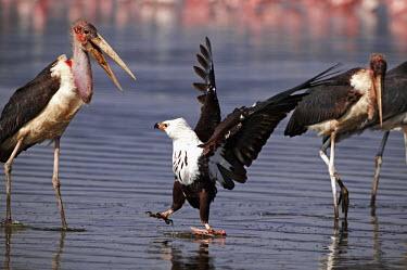 African fish-eagle guarding it's food from marabou storks - Kenya eagle,bird of prey,raptor,bird,birds,African fish-eagle,Haliaeetus vocifer,Chordates,Chordata,Aves,Birds,Falconiformes,Hawks Eagles Falcons Kestrel,Accipitridae,Hawks, Eagles, Kites, Harriers,Ciconiif