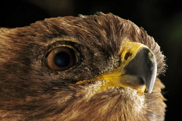 Wahlbergs eagle - Africa Close up,Black background,Birds eye,Portrait,face picture,face shot,nothing,plain background,nothing in background,Plain,blank background,blank,eagle,bird of prey,raptor,bird,birds,Wahlbergs eagle,Aqu