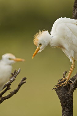 Cattle egret - Kenya Close up,blur,selective focus,blurry,depth of field,Shallow focus,blurred,soft focus,Green background,egret,bird,birds,Cattle egret,Bubulcus ibis,Ciconiiformes,Herons Ibises Storks and Vultures,Aves,B