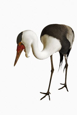Wattled crane Portrait,face picture,face shot,White background,nothing,plain background,nothing in background,Plain,blank background,blank,Close up,crane,bird,birds,Wattled crane,Bugeranus carunculatus,Aves,Birds,C