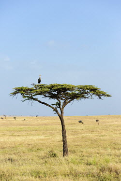 Grey crowned-crane nesting in an acacia tree - Kenya nests,nesting,Nest,Nesting,brooding,nest,clutch,brood,crane,bird,birds,Grey crowned-crane,Balearica regulorum,Chordates,Chordata,Gruidae,Aves,Birds,Gruiformes,Rails and Cranes,southern crowned crane,E