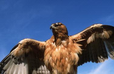 African hawk eagle - Africa eagle,bird of prey,raptor,bird,birds,African hawk eagle,Hieraaetus spilogaster,Accipitridae,Hawks, Eagles, Kites, Harriers,Chordates,Chordata,Falconiformes,Hawks Eagles Falcons Kestrel,Ciconiiformes,H