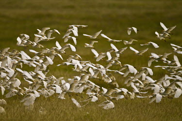 A flock of cattle egret - Kenya action,movement,move,Moving,in action,in motion,motion,in-air,in flight,flight,in-flight,flap,Flying,fly,in air,flapping,egret,bird,birds,Cattle egret,Bubulcus ibis,Ciconiiformes,Herons Ibises Storks