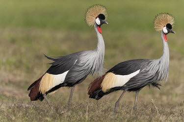 A pair of grey crowned-crane - Kenya crane,bird,birds,Grey crowned-crane,Balearica regulorum,Chordates,Chordata,Gruidae,Aves,Birds,Gruiformes,Rails and Cranes,southern crowned crane,East African crowned crane,South African crowned crane,