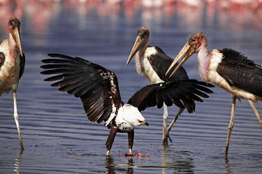 African fish-eagle guarding it's food from marabou storks - Kenya water,environment,ecosystem,Habitat,food,feed,hungry,eat,hunger,Feeding,eating,negative,sad,action,movement,move,Moving,in action,in motion,motion,guarded,guard,danger,Defensive,defense,protecting,gua