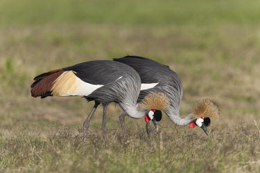 A pair of grey crowned-crane foraging for food - Kenya crane,bird,birds,Grey crowned-crane,Balearica regulorum,Chordates,Chordata,Gruidae,Aves,Birds,Gruiformes,Rails and Cranes,southern crowned crane,East African crowned crane,South African crowned crane,