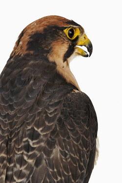Lanner falcon Portrait,face picture,face shot,Close up,Facial portrait,face,nothing,plain background,nothing in background,Plain,blank background,blank,White background,falcon,bird of prey,raptor,bird,birds,Lanner