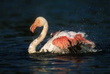 Greater flamingo - South Africa pink,environment,ecosystem,Habitat,coloration,Colouration,feathers,Feather,colours,color,colors,Colour,Aquatic,water,water body,Lake,lakes,flamingo,flamingos,bird,birds,Greater flamingo,Phoenicopterus
