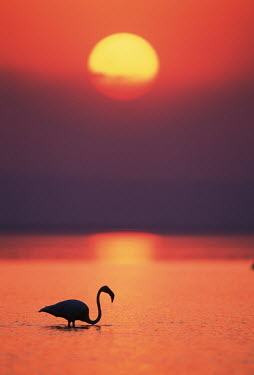 Greater flamingo at sunset - South Africa flamingo,flamingos,bird,birds,Greater flamingo,Phoenicopterus roseus,Ciconiiformes,Herons Ibises Storks and Vultures,Chordates,Chordata,Phoenicopteridae,Flamingos,Phoenicopteriformes,Aves,Birds,pink f