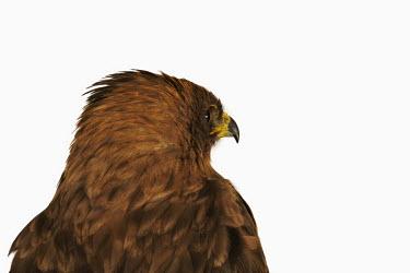Wahlberg�s eagle eagle,bird of prey,raptor,bird,birds,Wahlberg�s eagle,Aquila wahlbergi,Aves,Birds,Falconiformes,Hawks Eagles Falcons Kestrel,Accipitridae,Hawks, Eagles, Kites, Harriers,Chordates,Chordata,Hieraaetus w