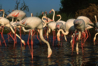 Greater flamingo - South Africa Aquatic,water,water body,migration,migrate,Migratory,travel,environment,ecosystem,Habitat,Colonisation,Colony,Colonial,Lake,lakes,flamingo,flamingos,bird,birds,Greater flamingo,Phoenicopterus roseus,C