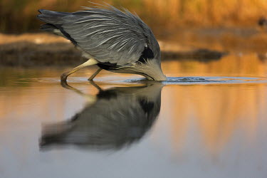 Grey heron fishing - Africa predation,hunt,hunter,stalking,Hunting,stalker,hungry,stalk,hunger,environment,ecosystem,Habitat,Aquatic,water,water body,Lake,lakes,heron,bird,birds,Grey heron,Ardea cinerea,Aves,Birds,Chordates,Chor
