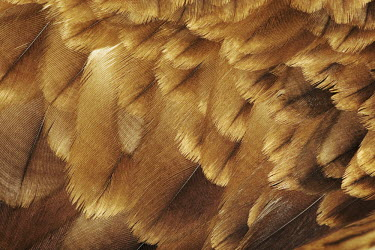 Wahlberg�s eagle feathers - Africa eagle,bird of prey,raptor,bird,birds,Wahlberg�s eagle,Aquila wahlbergi,Aves,Birds,Falconiformes,Hawks Eagles Falcons Kestrel,Accipitridae,Hawks, Eagles, Kites, Harriers,Chordates,Chordata,Hieraaetus w