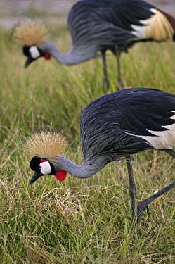 Grey crowned-crane - Kenya crane,bird,birds,Grey crowned-crane,Balearica regulorum,Chordates,Chordata,Gruidae,Aves,Birds,Gruiformes,Rails and Cranes,southern crowned crane,East African crowned crane,South African crowned crane,