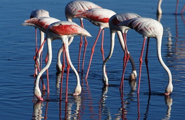 Greater flamingo - South Africa Aquatic,water,water body,environment,ecosystem,Habitat,Colonisation,Colony,Colonial,Lake,lakes,migration,migrate,Migratory,travel,flamingo,flamingos,bird,birds,Greater flamingo,Phoenicopterus roseus,C