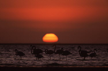 Greater flamingos at sunset - South Africa flamingo,flamingos,bird,birds,Greater flamingo,Phoenicopterus roseus,Ciconiiformes,Herons Ibises Storks and Vultures,Chordates,Chordata,Phoenicopteridae,Flamingos,Phoenicopteriformes,Aves,Birds,pink f