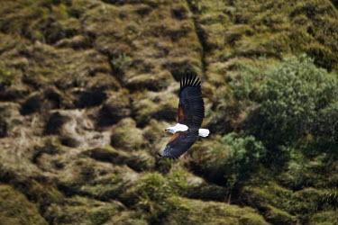 African fish-eagle in flight - Kenya eagle,bird of prey,raptor,bird,birds,African fish-eagle,Haliaeetus vocifer,Chordates,Chordata,Aves,Birds,Falconiformes,Hawks Eagles Falcons Kestrel,Accipitridae,Hawks, Eagles, Kites, Harriers,Ciconiif