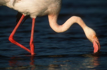 Greater flamingo - South Africa coloration,Colouration,feathers,Feather,environment,ecosystem,Habitat,Lake,lakes,pink,colours,color,colors,Colour,Aquatic,water,water body,flamingo,flamingos,bird,birds,Greater flamingo,Phoenicopterus