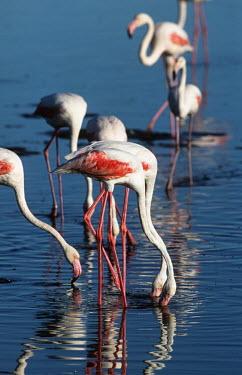 Greater flamingo - South Africa Lake,lakes,migration,migrate,Migratory,travel,Aquatic,water,water body,environment,ecosystem,Habitat,Colonisation,Colony,Colonial,flamingo,flamingos,bird,birds,Greater flamingo,Phoenicopterus roseus,C