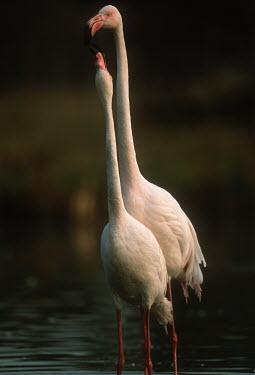 Greater flamingo - South Africa flamingo,flamingos,bird,birds,Greater flamingo,Phoenicopterus roseus,Ciconiiformes,Herons Ibises Storks and Vultures,Chordates,Chordata,Phoenicopteridae,Flamingos,Phoenicopteriformes,Aves,Birds,pink f