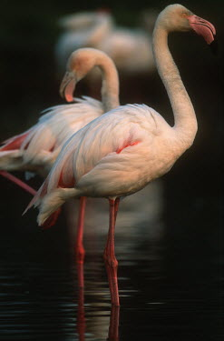 Greater flamingo - South Africa colours,color,colors,Colour,coloration,Colouration,pink,environment,ecosystem,Habitat,Aquatic,water,water body,feathers,Feather,Lake,lakes,flamingo,flamingos,bird,birds,Greater flamingo,Phoenicopterus