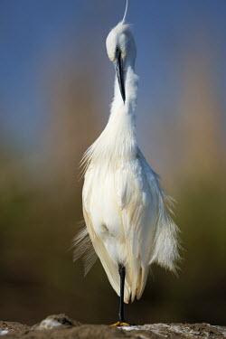Little egret - Mozambique, Africa egret,bird,birds,Little egret,Egretta garzetta,Ciconiiformes,Herons Ibises Storks and Vultures,Chordates,Chordata,Herons, Bitterns,Ardeidae,Aves,Birds,Aigrette garzette,Europe,Flying,Africa,Temporary